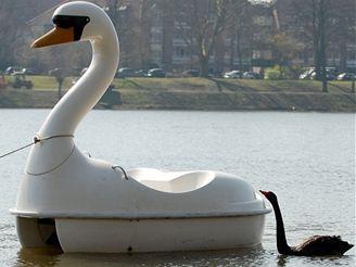 Černá labuť je se svým plastovým miláčkem zpátky na jezeře